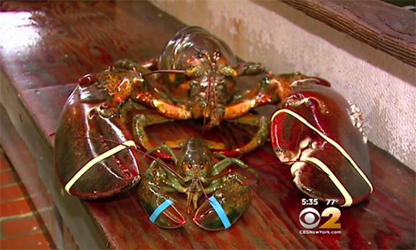 95-Year-Old Lobster Spared by Long Island Restaurant